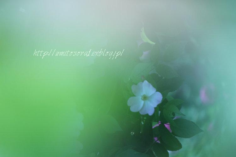 薔薇色仄かに_b0324291_22374186.jpg