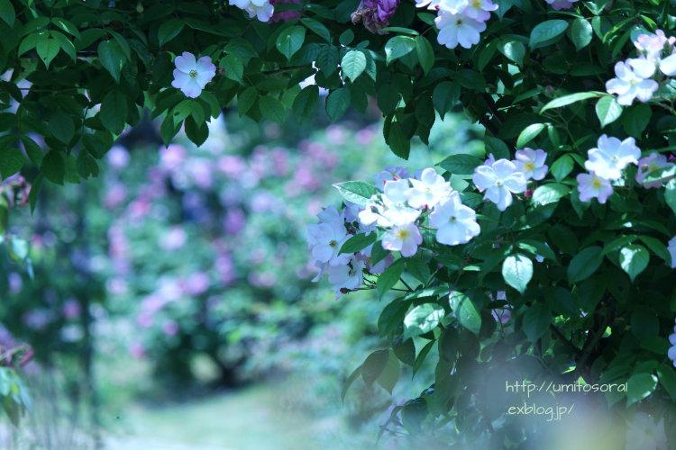 薔薇色仄かに_b0324291_22374473.jpg