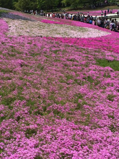 芝桜_e0001906_13175474.jpg
