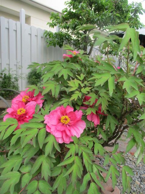 お庭の藤が綺麗_a0279743_8182276.jpg