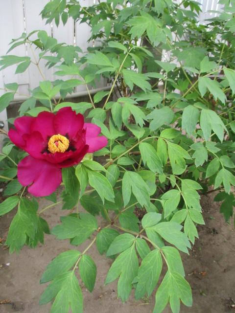 お庭の藤が綺麗_a0279743_8185673.jpg