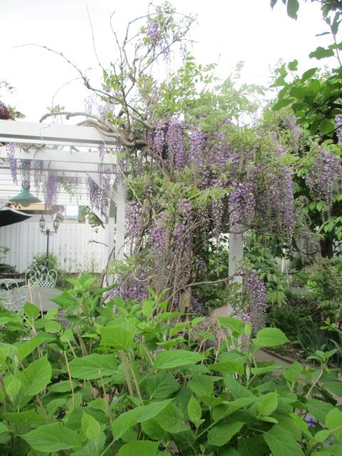 お庭の藤が綺麗_a0279743_883054.jpg
