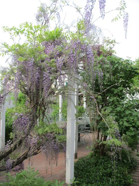 お庭の藤が綺麗_a0279743_884711.jpg