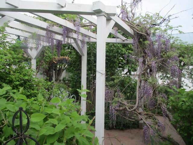 お庭の藤が綺麗_a0279743_88955.jpg