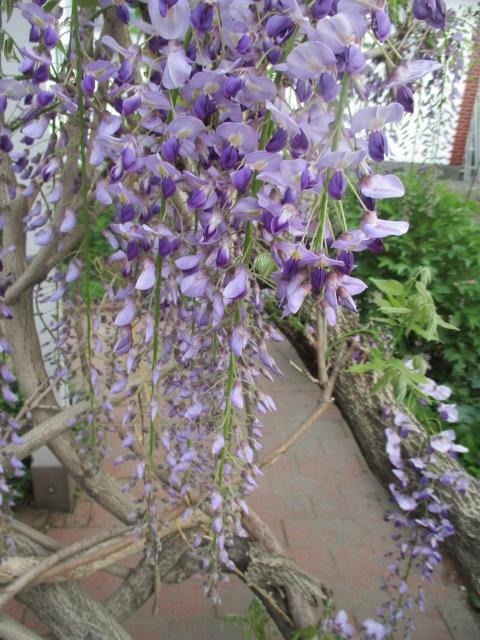 お庭の藤が綺麗_a0279743_894354.jpg