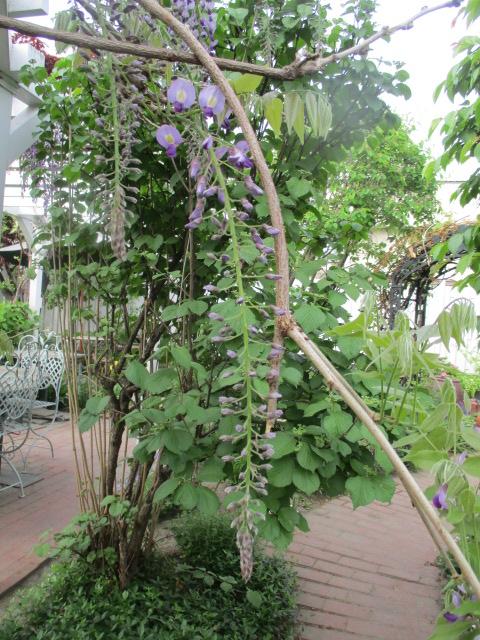 お庭の藤が綺麗_a0279743_895769.jpg