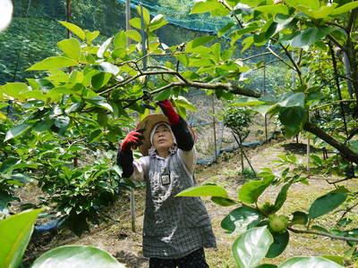 太秋柿 古川果樹園 元気な花と着果!今年も惜しまぬ手間ひまで育てます!_a0254656_1825278.jpg