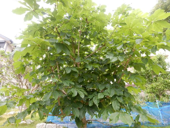 '16,5,26(木)挿し木で増やすのも面白いYO!_f0060461_11334042.jpg