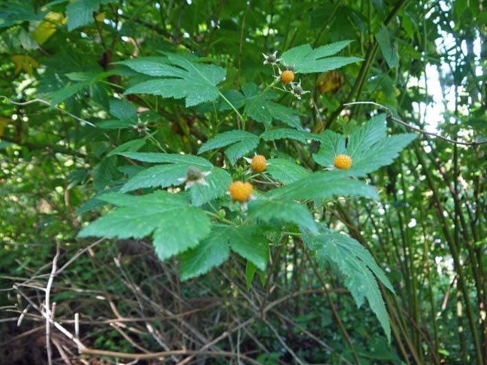 カジイチゴ完熟、食べごろに:六国見山の5月定例手入れ_c0014967_11144110.jpg