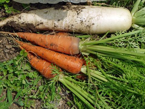 ニンジンとピーマンを初収穫、サツマイモ根付く5・24_c0014967_1214974.jpg