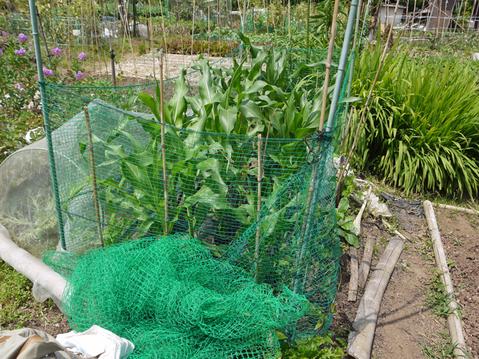 ニンジンとピーマンを初収穫、サツマイモ根付く5・24_c0014967_12192175.jpg