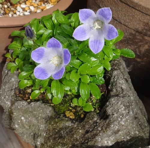 チシマギキョウ 石鉢植え_a0136293_1710437.jpg