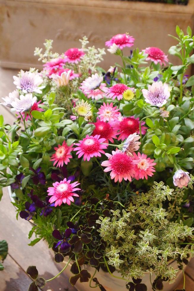 初夏から夏に向けての寄せ植え_a0292194_2234328.jpg