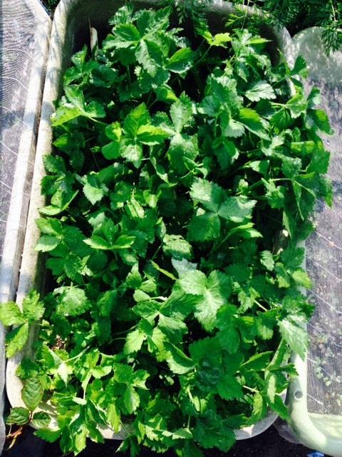 夏野菜植え付け_f0204295_20333630.jpg