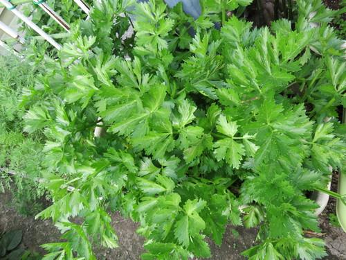 夏野菜植え付け_f0204295_204733.jpg