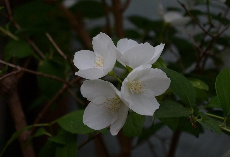 白い花・・_c0233349_22451389.jpg