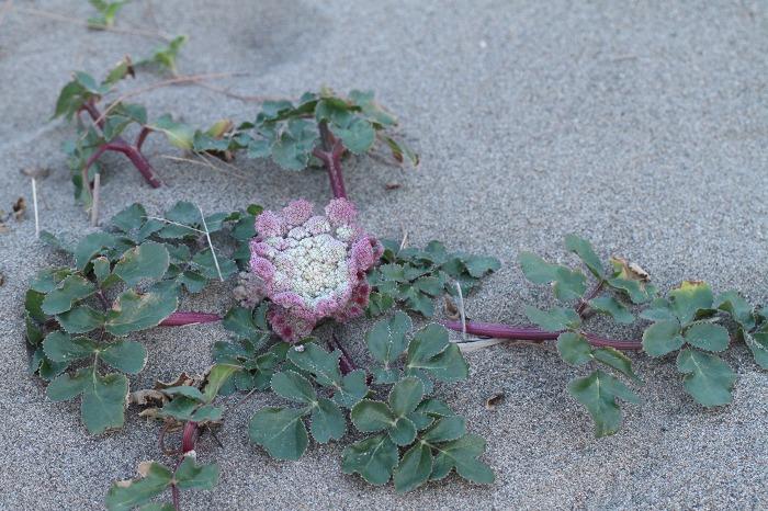 浜辺の花  ハマボウフウ_c0155950_1014467.jpg