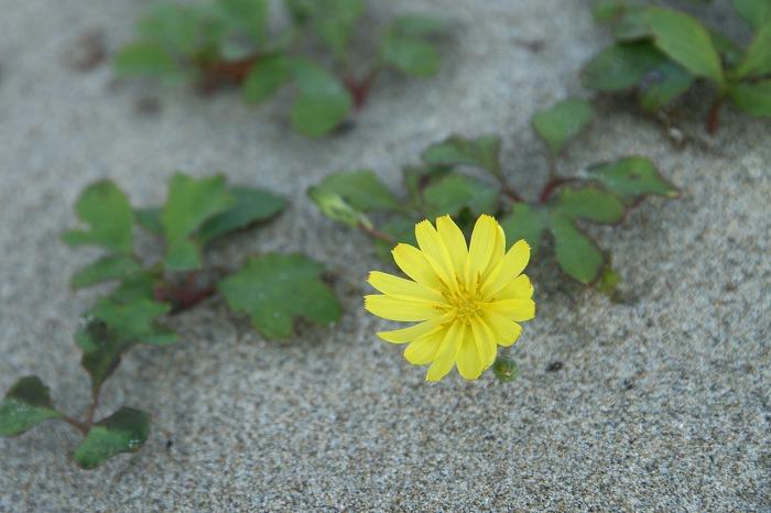 浜辺の花  ハマニガナ_c0155950_1052549.jpg