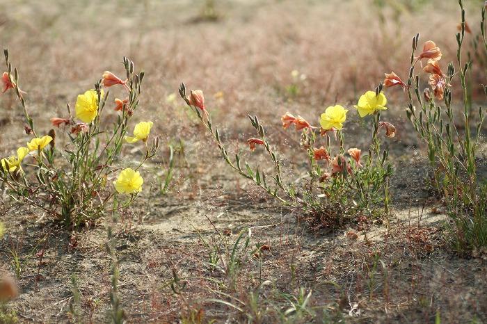 浜辺の花  コマツヨイグサ_c0155950_1062762.jpg