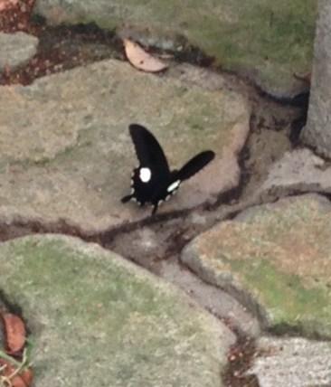 ファッションカンタータの久米島紬のお客様・黒い蝶。_f0181251_1771736.jpg