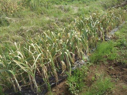 ニンニクの収穫..つるつる植えの効果は?_b0137932_18482146.jpg