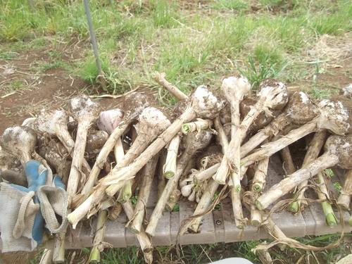ニンニクの収穫..つるつる植えの効果は?_b0137932_18491216.jpg