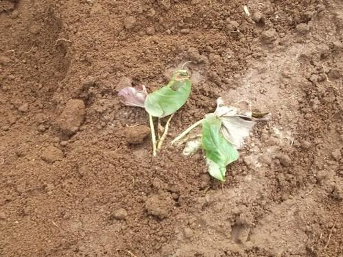 ニンニクの収穫..つるつる植えの効果は?_b0137932_18502997.jpg