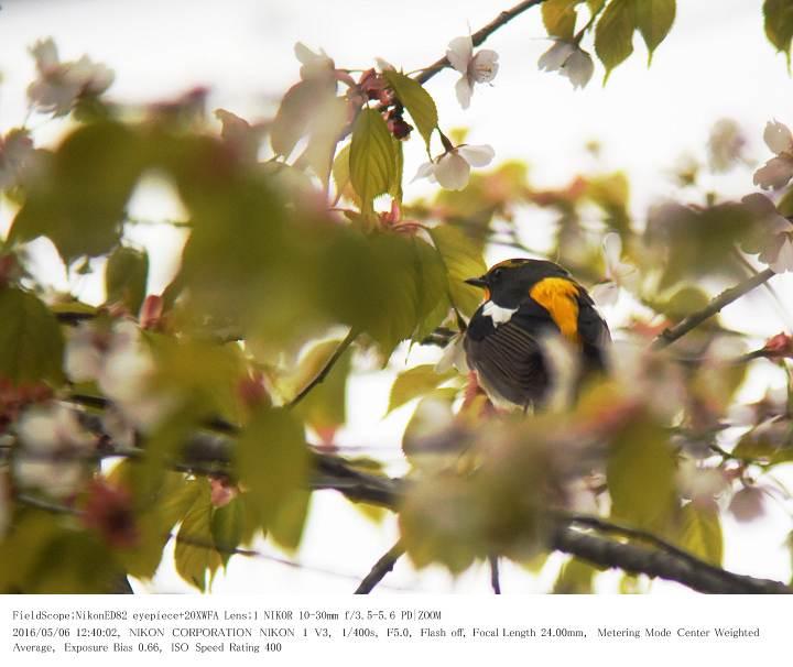 軽井沢・野鳥の森 2016.5.6(2)_c0062451_20233577.jpg