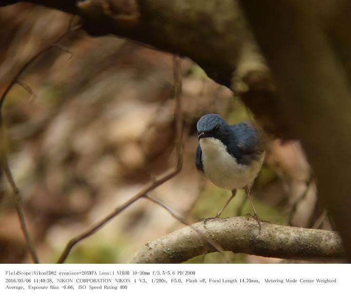 軽井沢・野鳥の森 2016.5.6(2)_c0062451_2081322.jpg