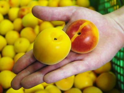 かおりうらしそ 無農薬・無化学肥料で元気に成長中!今年は赤しそも販売します!_a0254656_1813191.jpg