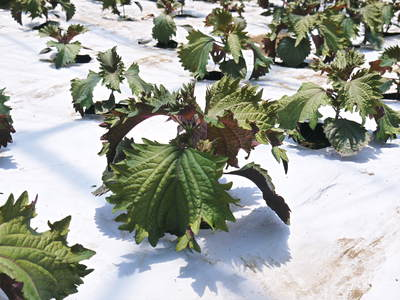 かおりうらしそ 無農薬・無化学肥料で元気に成長中!今年は赤しそも販売します!_a0254656_18215471.jpg