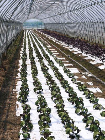 かおりうらしそ 無農薬・無化学肥料で元気に成長中!今年は赤しそも販売します!_a0254656_18473318.jpg