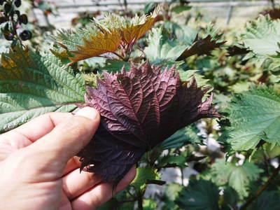 かおりうらしそ 無農薬・無化学肥料で元気に成長中!今年は赤しそも販売します!_a0254656_18541034.jpg