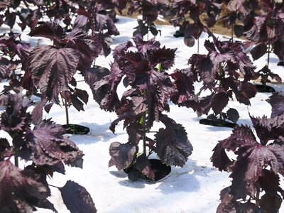 かおりうらしそ 無農薬・無化学肥料で元気に成長中!今年は赤しそも販売します!_a0254656_18572159.jpg