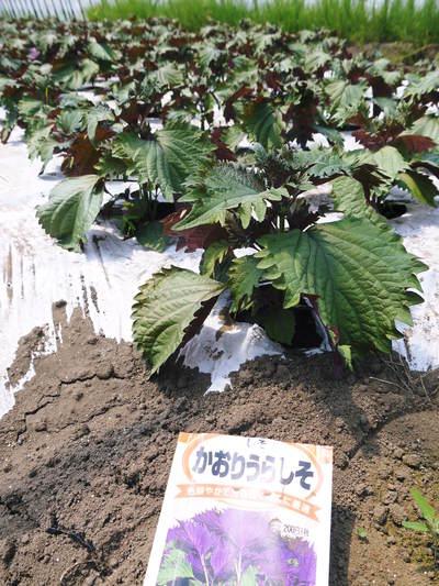 かおりうらしそ 無農薬・無化学肥料で元気に成長中!今年は赤しそも販売します!_a0254656_1935022.jpg