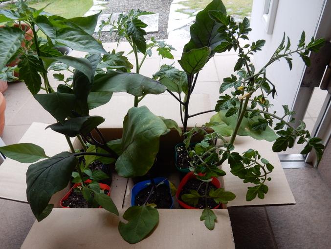 '16,5,28(土)野菜の苗と花の種!_f0060461_1154247.jpg