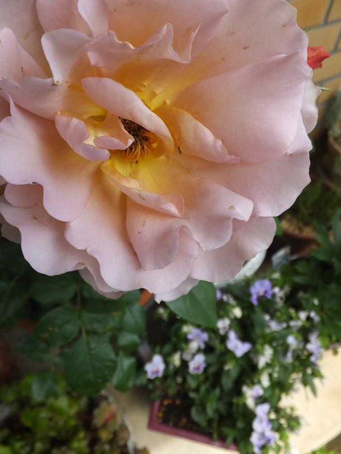 オークリーフ(我が家のバラたち)_f0049672_1215299.jpg