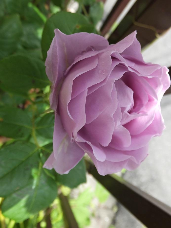 オークリーフ(我が家のバラたち)_f0049672_1216787.jpg