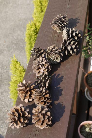 松ぼっくりとブラシの木と_c0334574_1936030.jpg
