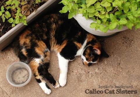 行き倒れ寝の三毛猫姉妹_b0253205_08063037.jpg
