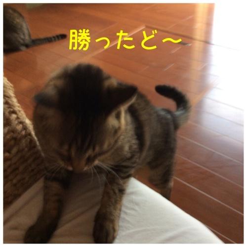 にゃんこ劇場「とらお君リベンジ編」_c0366722_18083167.jpeg