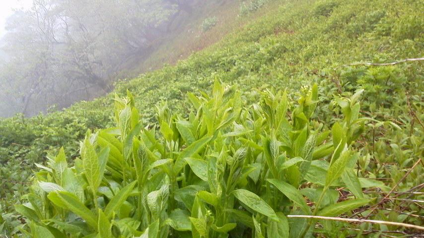5月28日登山道にて。頭のすぐ側で「ホーホケキョ!」上手さを威張ってるよう^-^;すぐ後にツツドリがポポ…。しばらく登るとカッコウも。静かな山です。雨もいいな。_c0089831_8475623.jpg