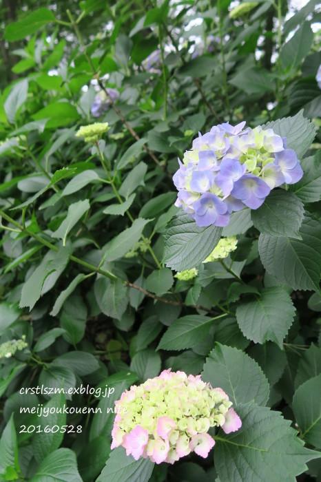 紫陽花の道_e0348754_11093767.jpg