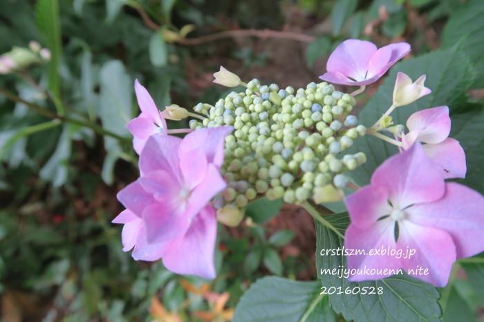 紫陽花の道_e0348754_11121624.jpg