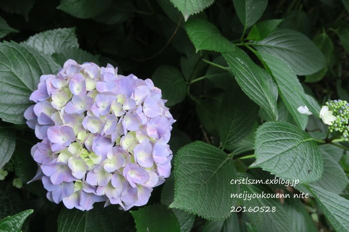 紫陽花の道_e0348754_11145911.jpg