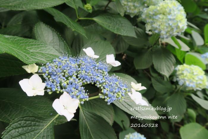紫陽花の道_e0348754_11164985.jpg