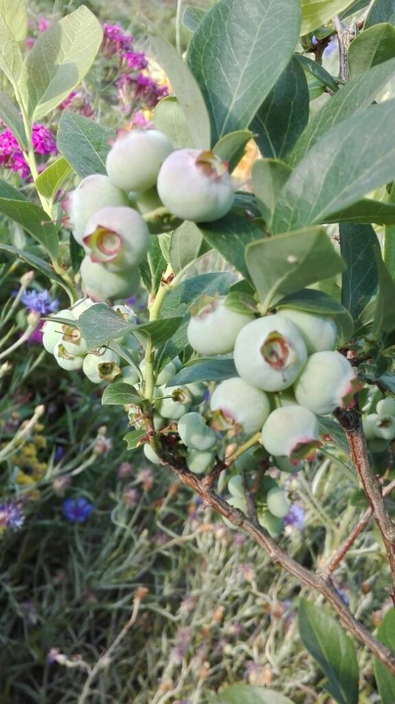 ぶどうとブルーベリーと花柄摘み_e0356469_15024622.jpg