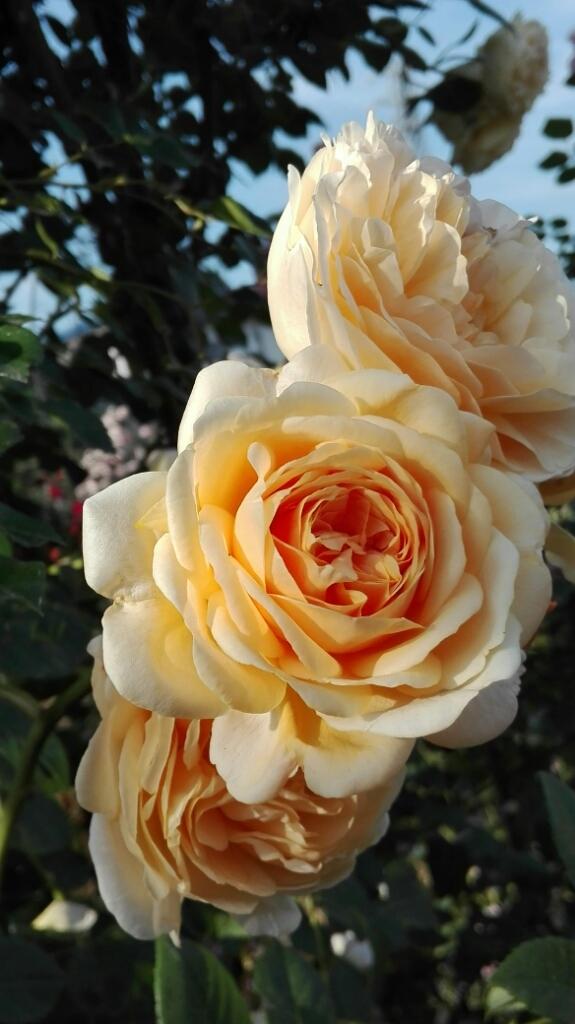 ぶどうとブルーベリーと花柄摘み_e0356469_15024906.jpg