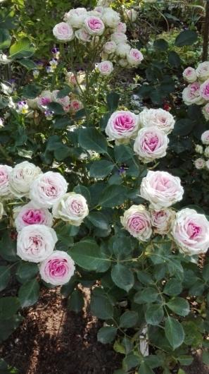 ぶどうとブルーベリーと花柄摘み_e0356469_15025478.jpg