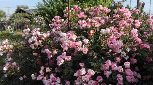 ぶどうとブルーベリーと花柄摘み_e0356469_15030500.jpg